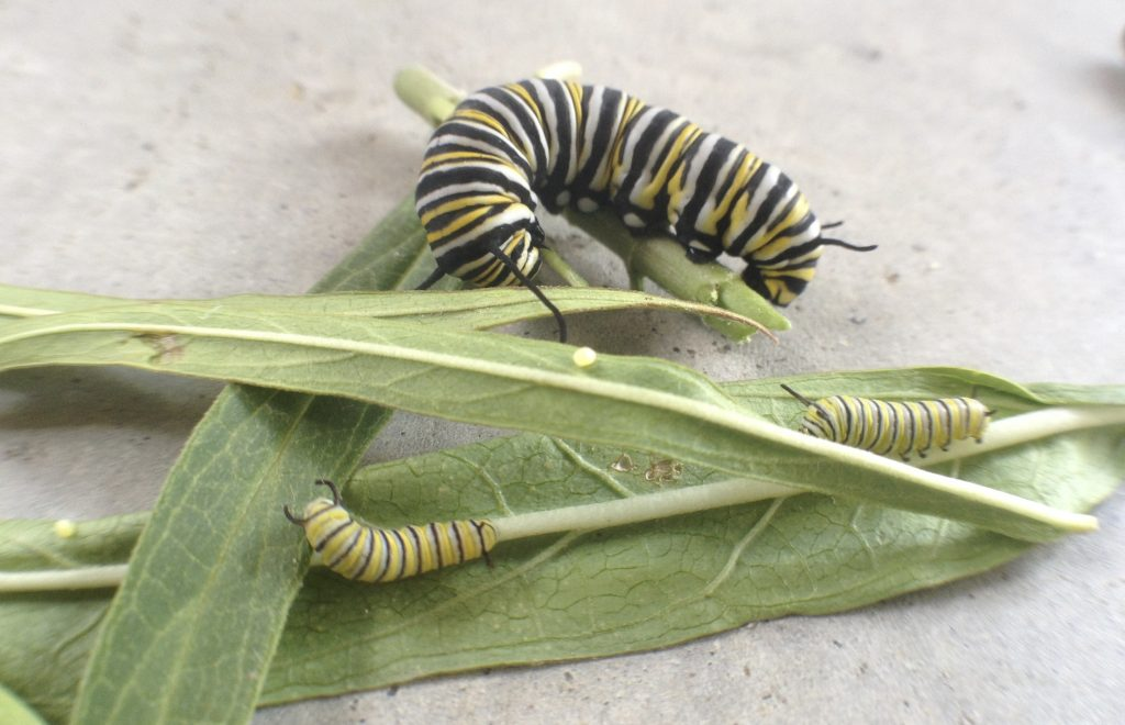Monarch catepillars and eggs