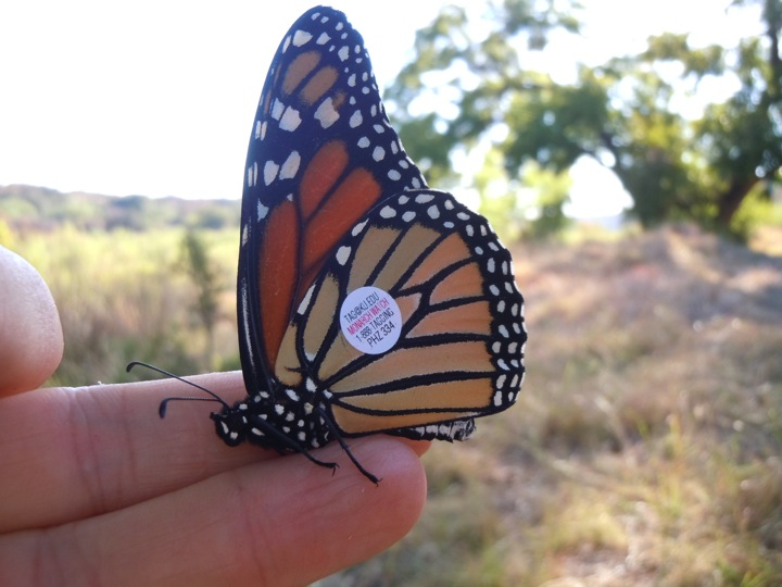 Tagging season is here, as is the first day of Fall.  Monarchs are not far behind.  Photo by Monika Maeckle