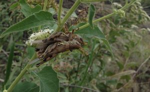 Grasshoppers doing it