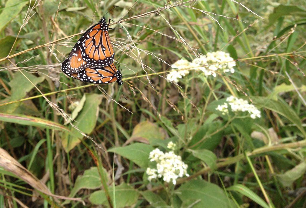 Queen butterflies doing it