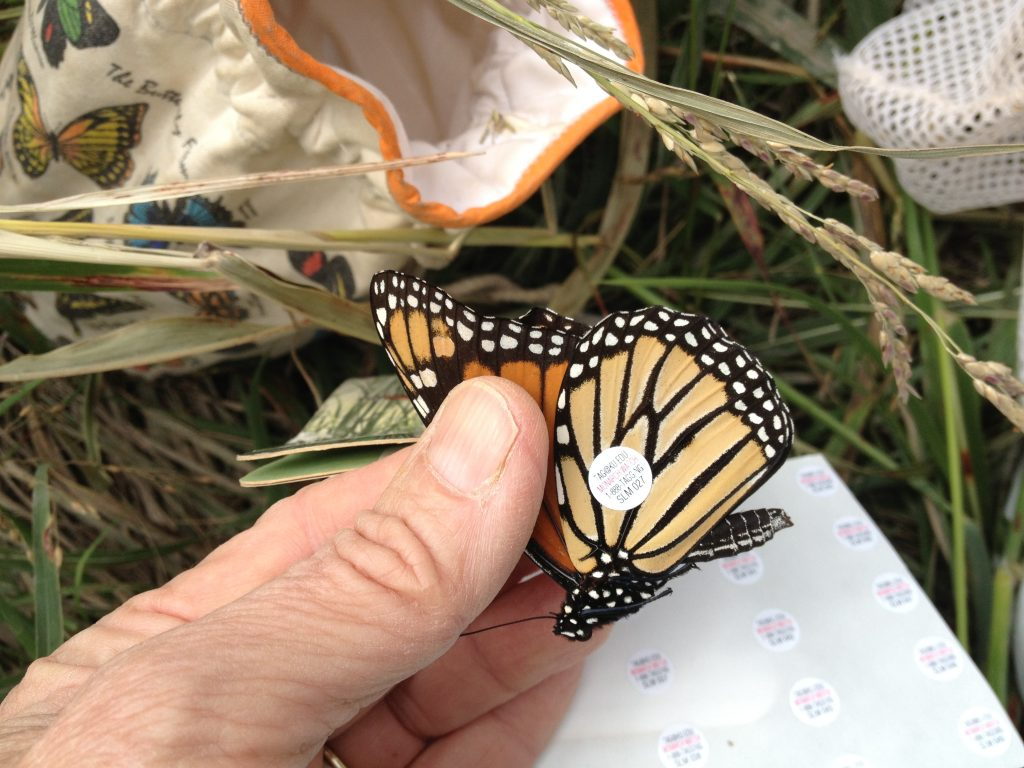 FOS Wild Monarch tagged