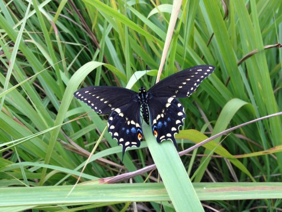 Eastern Black Swallowtail Butterflies Everywhere Here S How To Raise Them At Home Texas Butterfly Ranch