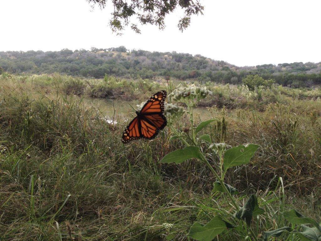 Monarch on the Llano