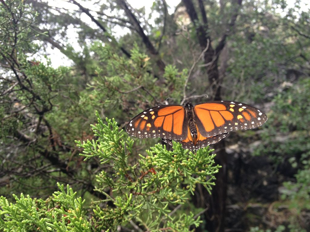 Monarch butterfly resting on Cedar