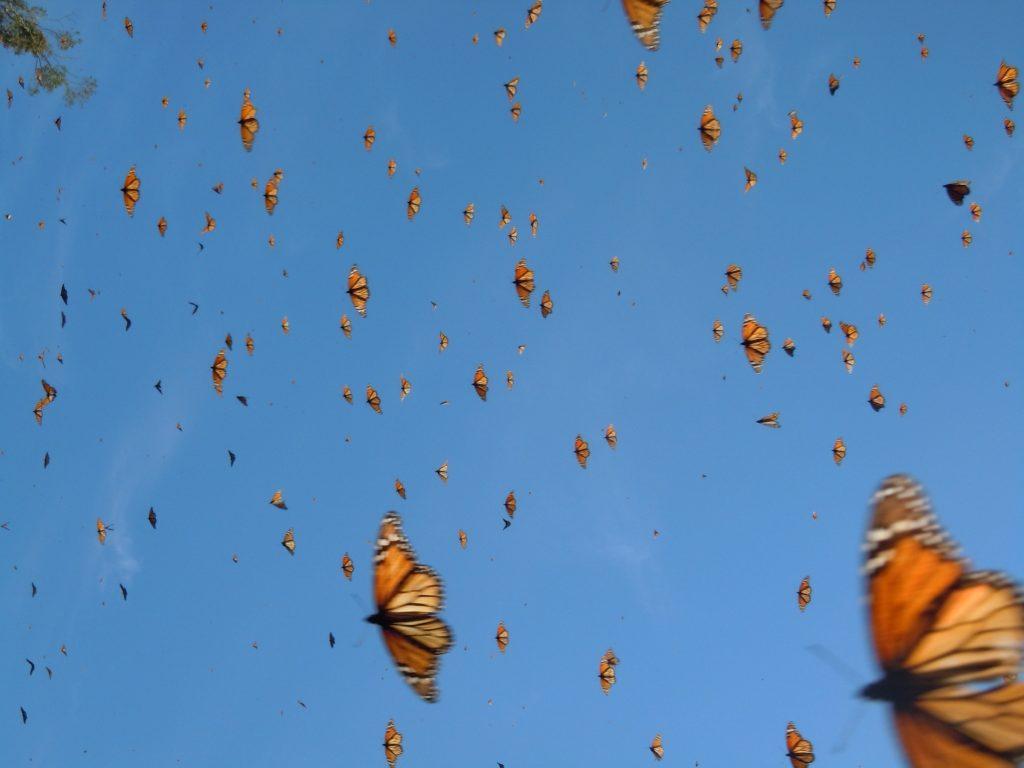 Blue Sky Monarchs
