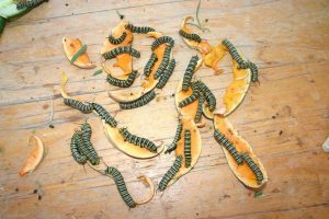 Monarch caterpillars eating pumpkin