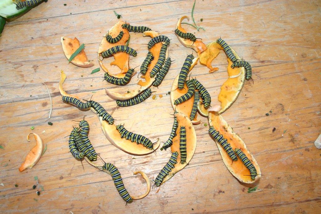 Monarch caterpillars eating pumpkin