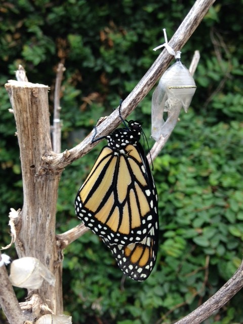 Monarch butterfly freshly minted