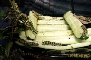 Monarchs eating cucumbers