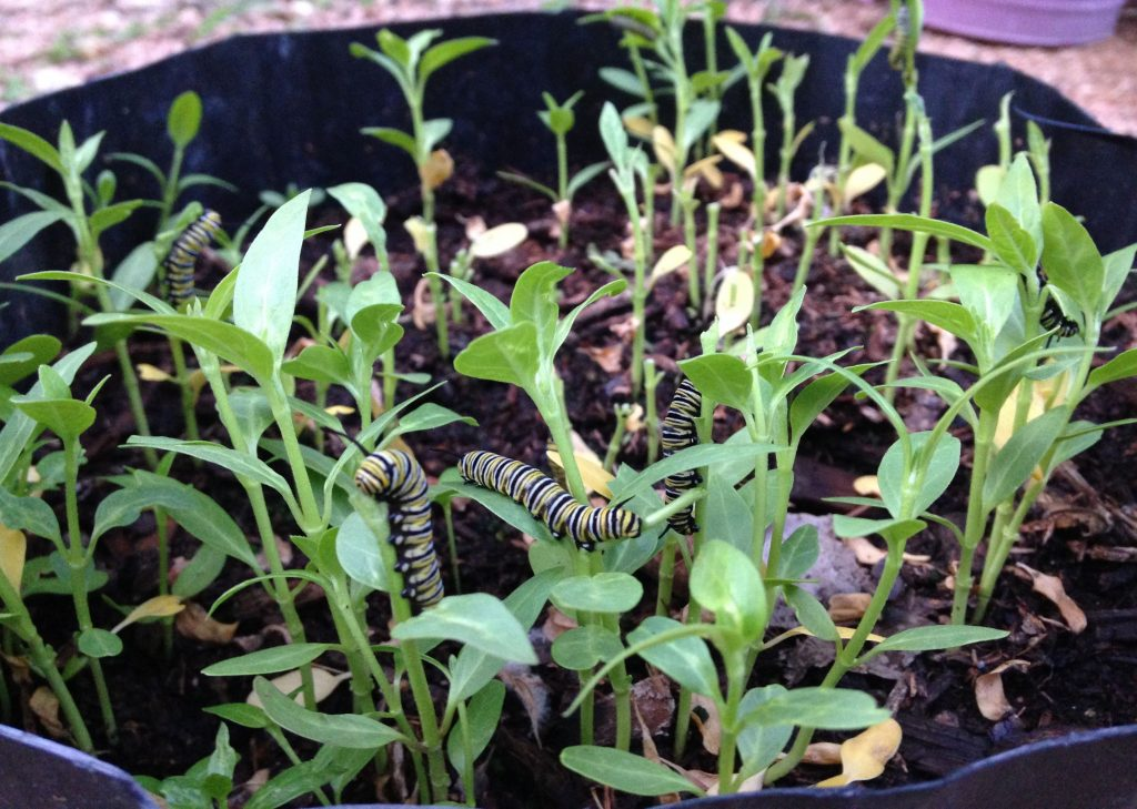 Hungry caterpillars on milkweed seedlings