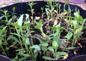 Hungry caterpillars on milkweed seedlings