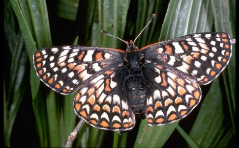 Chino Checkerspot