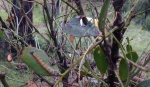 Genista Moth caterpillars