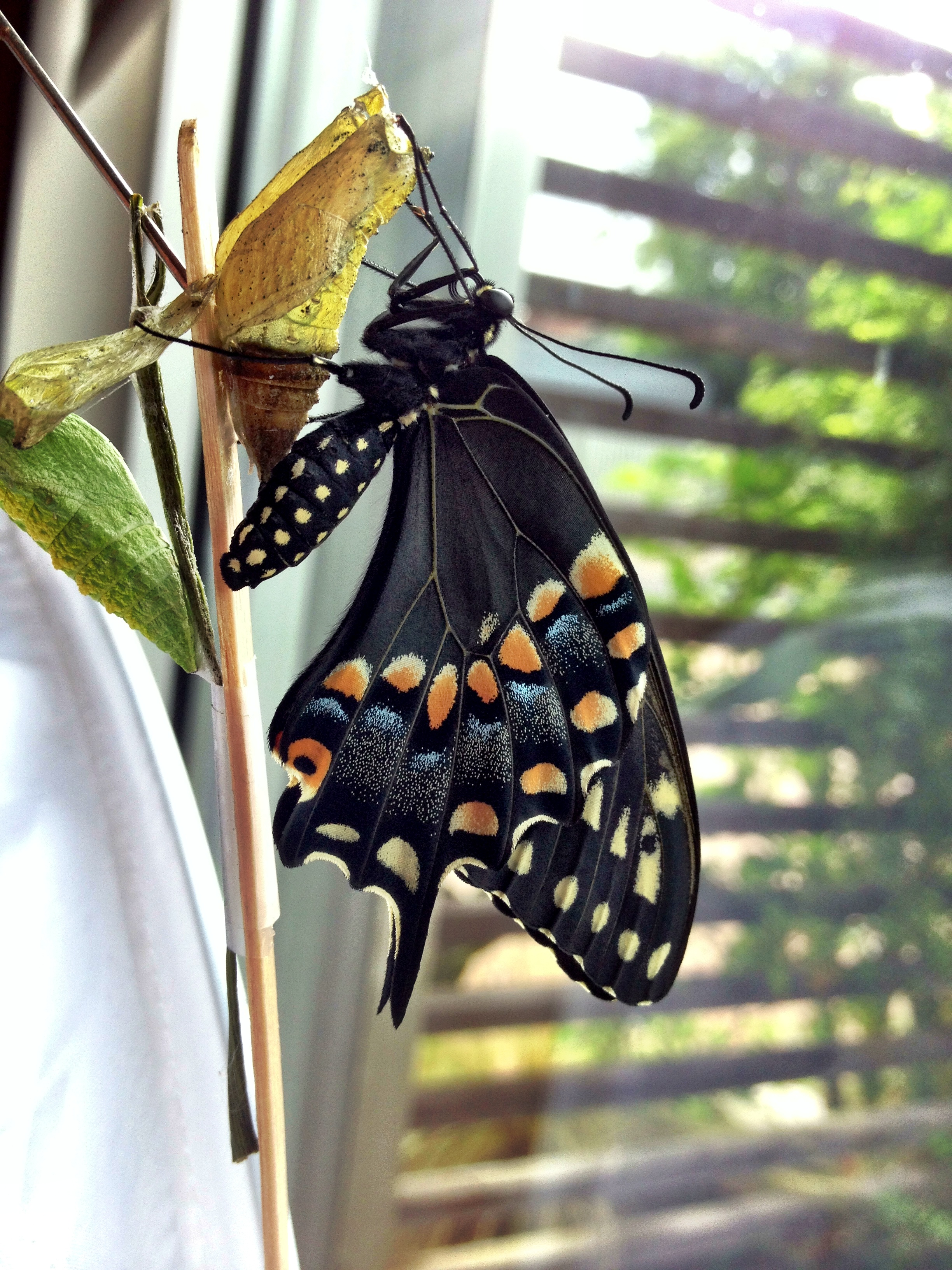How to texasbutterflyranch newborn swallowtail butterfly with sister chrysalis photo by monika maeckle biocorpaavc