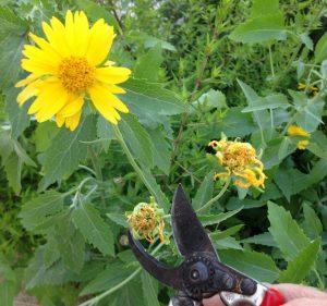 Cowpen daisy deadhead