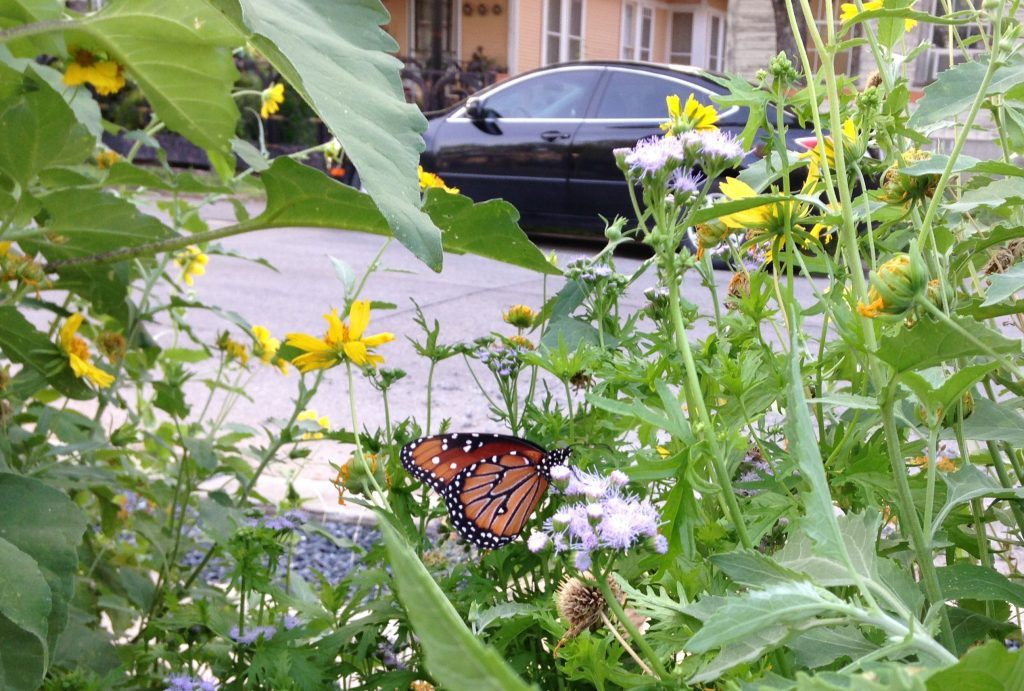 Queen on mistflower in urban polliantor garden