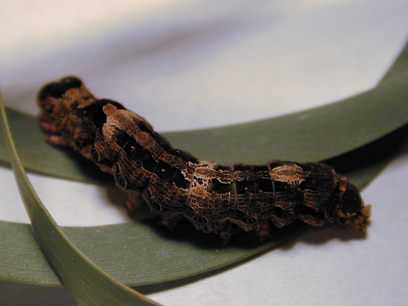 Black Witch Moth caterpillar