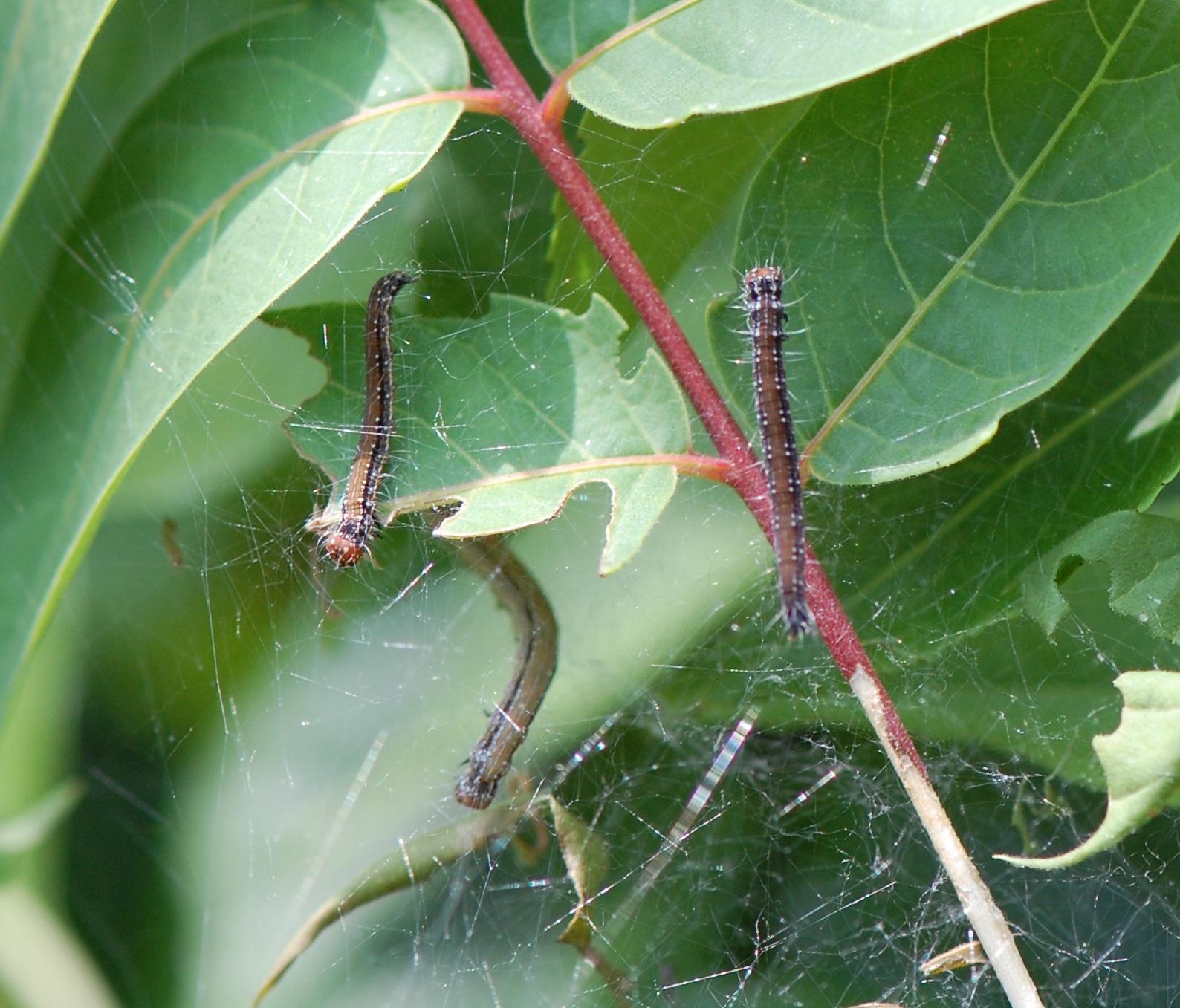 Ailanthus webworm moth caterpillars