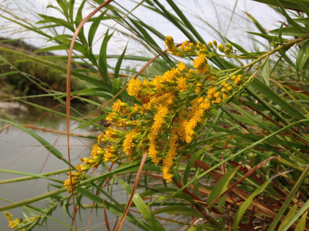 Goldenrod Llano River