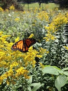 Monarch tagged in Minnesotat