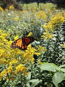 Monarch tagged in Minnesotat