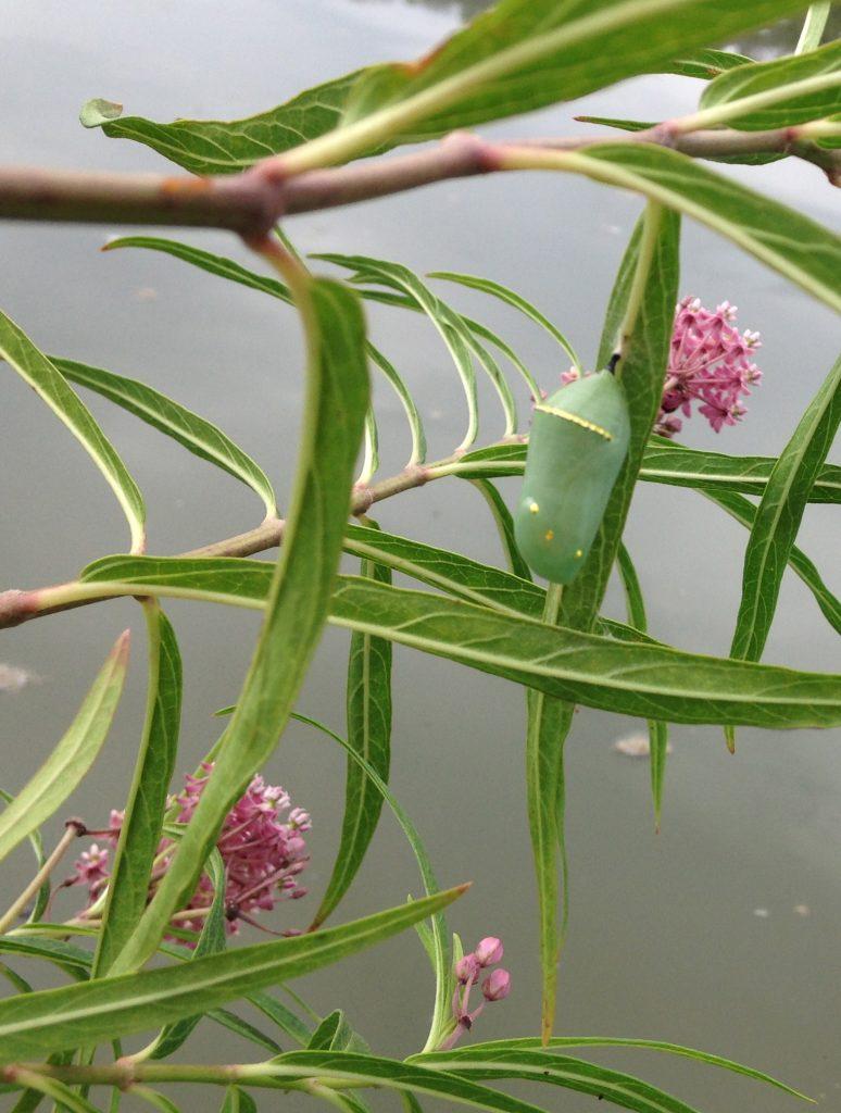 Monarch chrysalis on milkweed