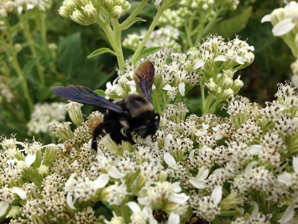 Bee on Frostweed