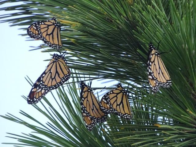 Monarchs on  Atlantic coast via Journey North
