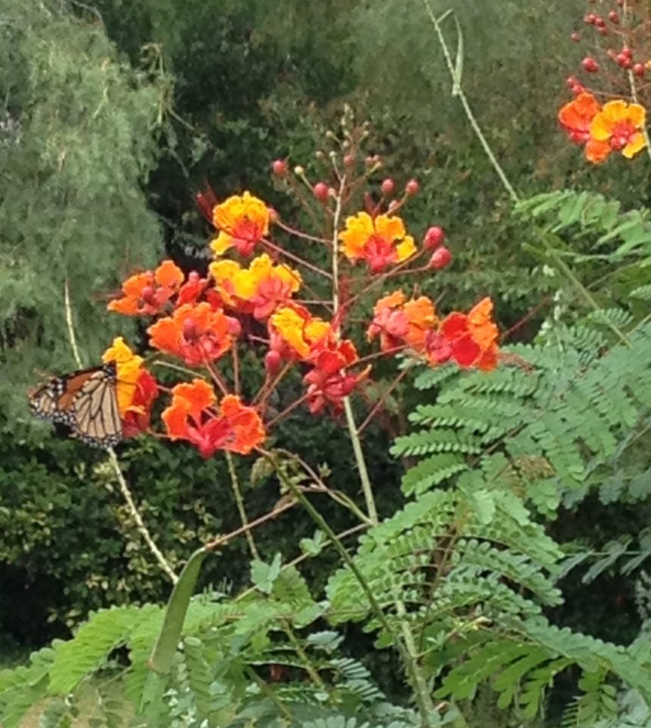 Monarch on Pride of Barbados