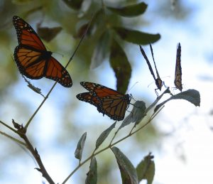 Monarch butterflies on the Llano River