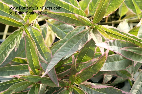 Variegated milkweed