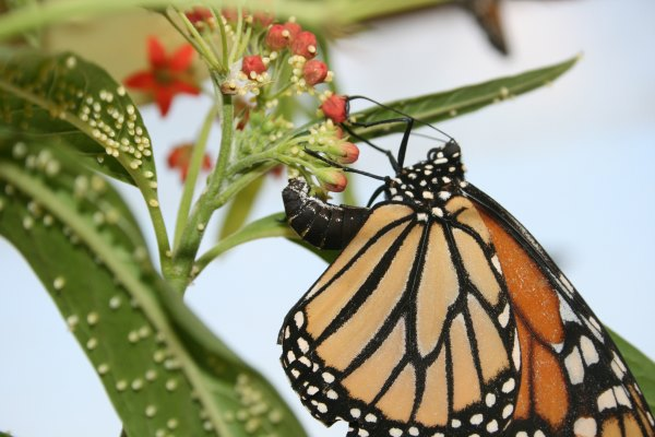 Got questions? Edith has the answers. In this case, this is one fertile female Monarch. Photo courtesy Edith Smith