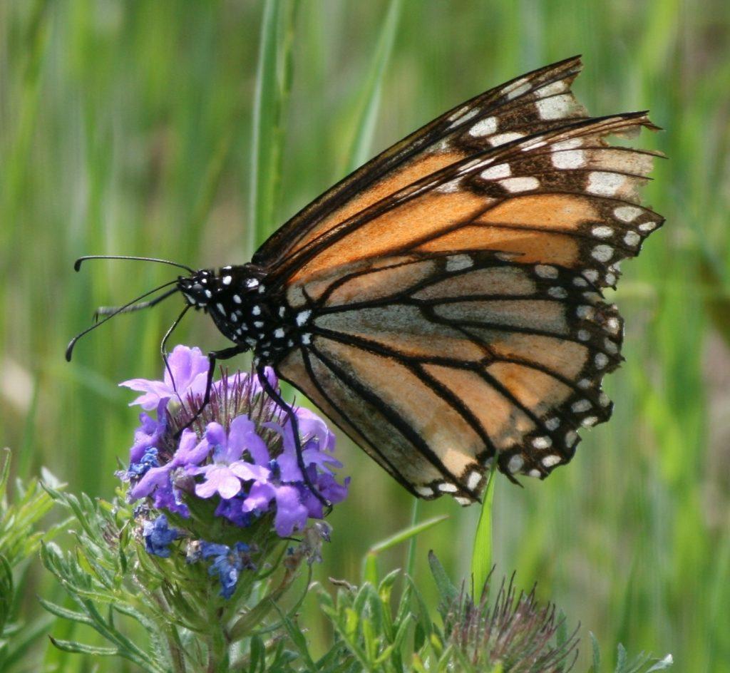 Worn migrant Monarch