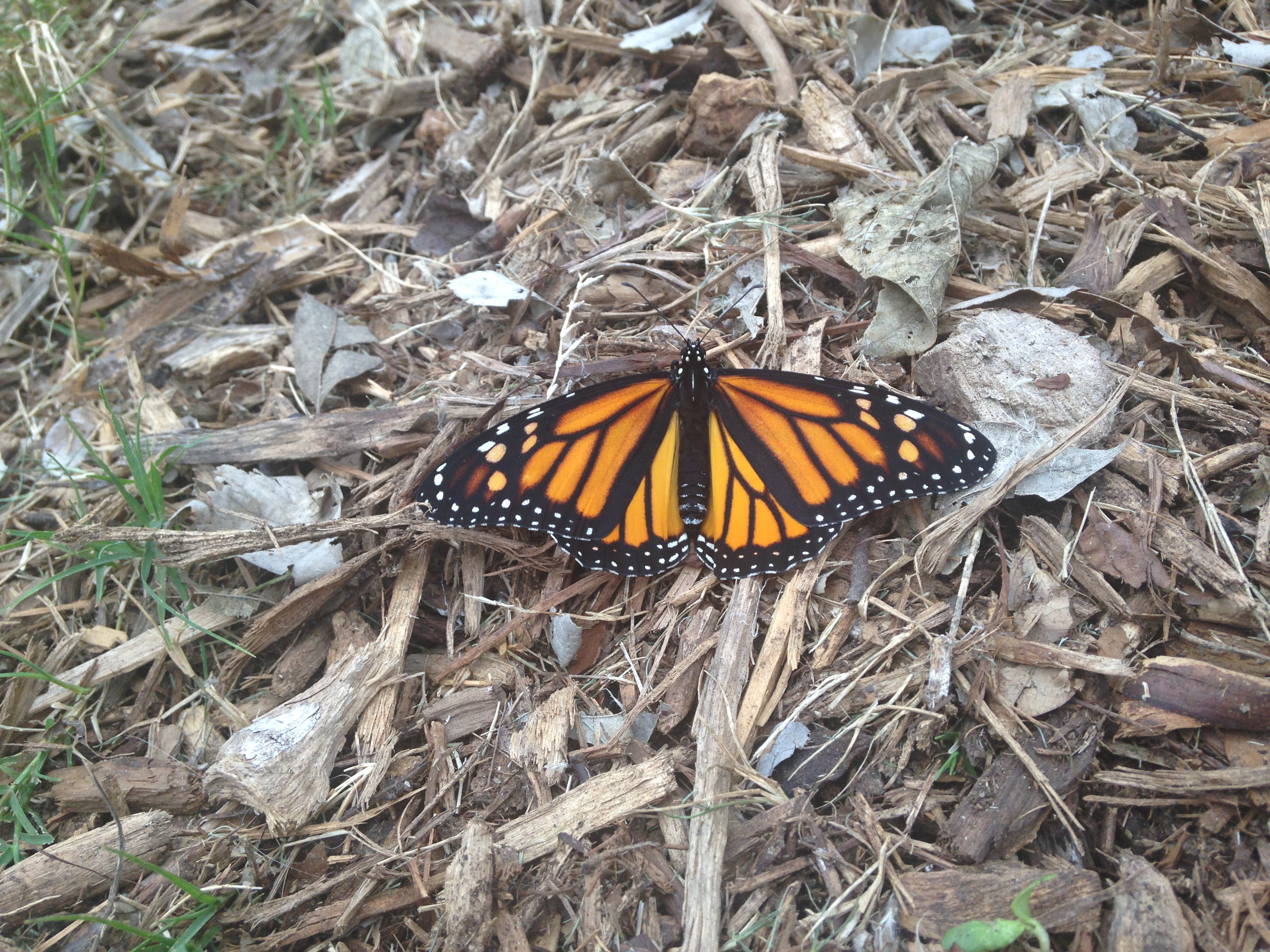 Monarch butterfly, recently hatched, readies for flight on mulch at the Museum Reach Milkweed patch. Photo by Monika Maeckle