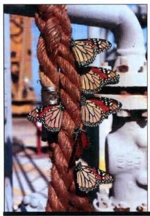 monarchsonrope