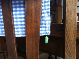 Monarch chrysalis on napkin