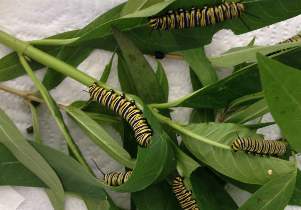 Monarch caterpillars tropical milkweed