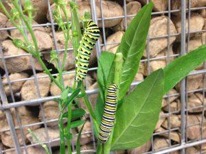 Swallowtail Monarch caterpillar