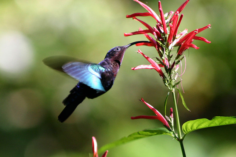 Hummingbirds also serve in the unpaid pollinator workforce. Photo by Charles Sharp Photography