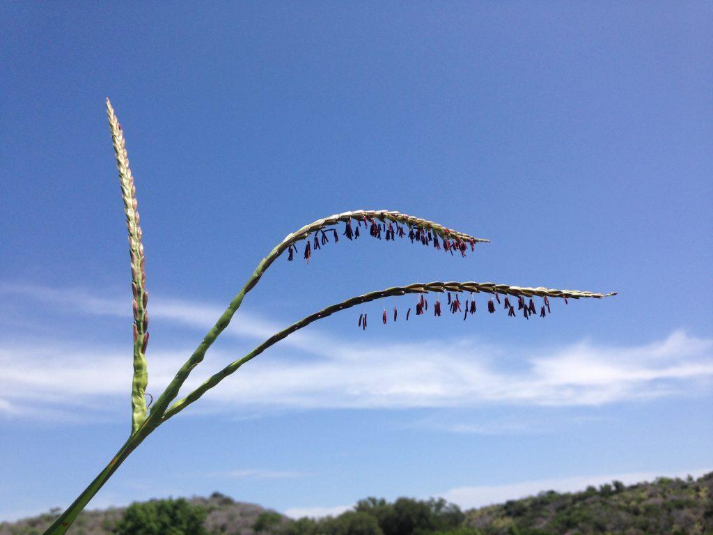 Eastern gamma grass