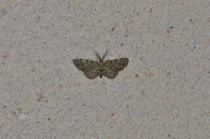 Texas Gray Moth
