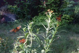 butterflies released in garden