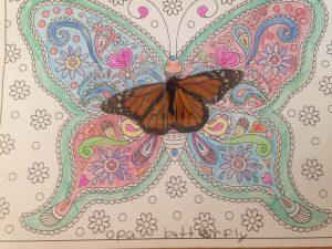 Opa butterfly Nola's
