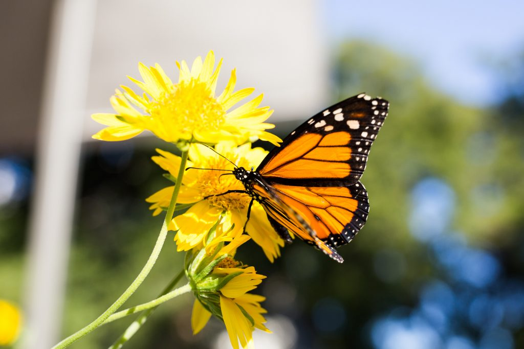 """Will Monarchs be listed as """"threatened"""" under the Endnagered SPecies Act? We'll know in 3 years. Monarch on Cowpen daisy.Photo by Scott Ball"""
