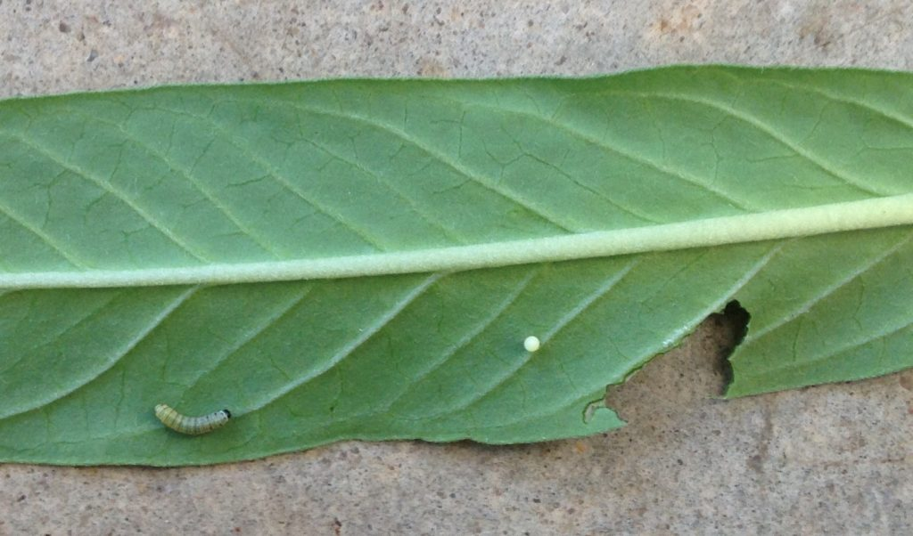 First instar caterpillar and egg