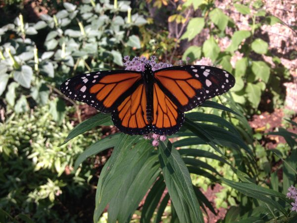 Monarch on swamp milkweed Arsenal