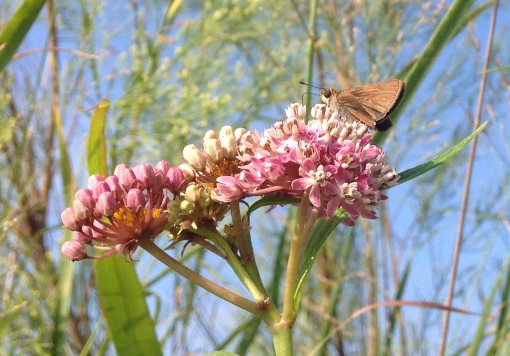 skipper on swamp milkweed llano