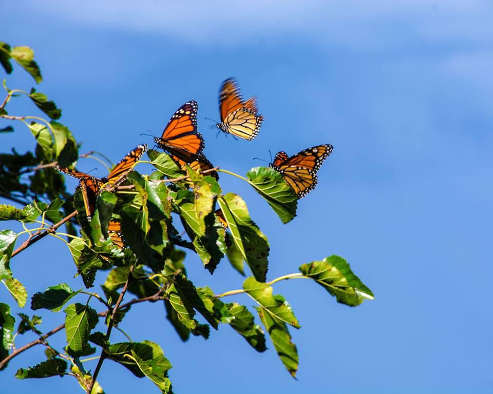 Monarch roost in Iowa