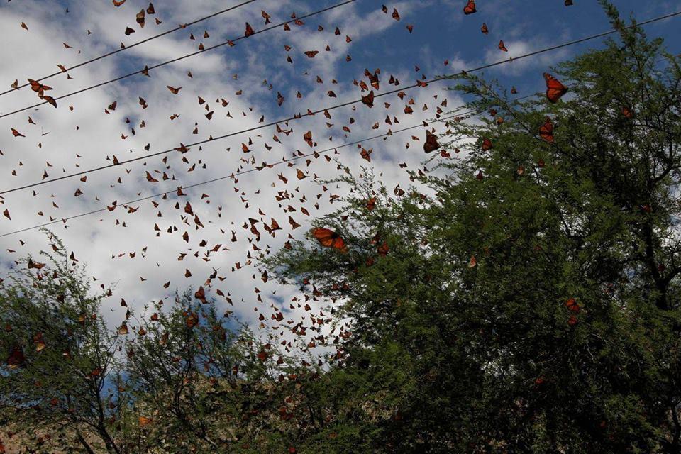 Coahuila Monarchs