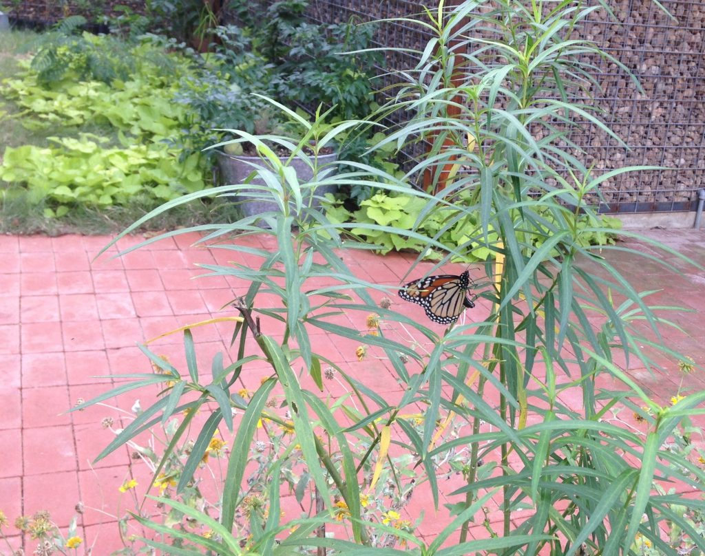 monarch laying eggs on swamp milkweed